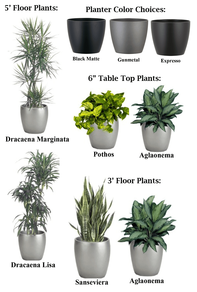 Plant Rental – 5 foot floor plants: Dracaena Marginata, Dracaena Lisa, 3 foot floor plants: Sanseveria, Aglaonema, 6 inch table top plants: Pothos and Aglaonema, Plastic Cylinder Planters in Black Matte, Gunmetal, and Expresso.