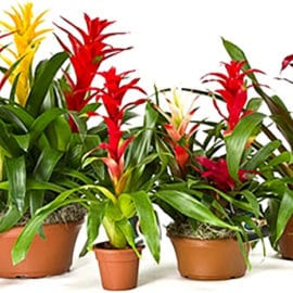 How do you keep a bromeliad alive?