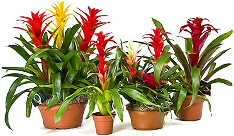 Bromeliad Plant Care in Riverside and San Bernardino counties