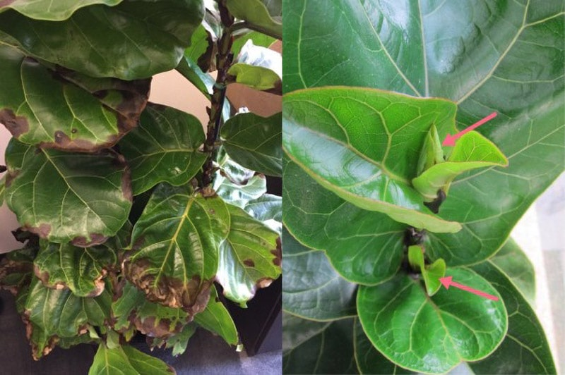 Ask the Plant Expert Fertilizing Indoor Plants, photo showing fertilizer burn