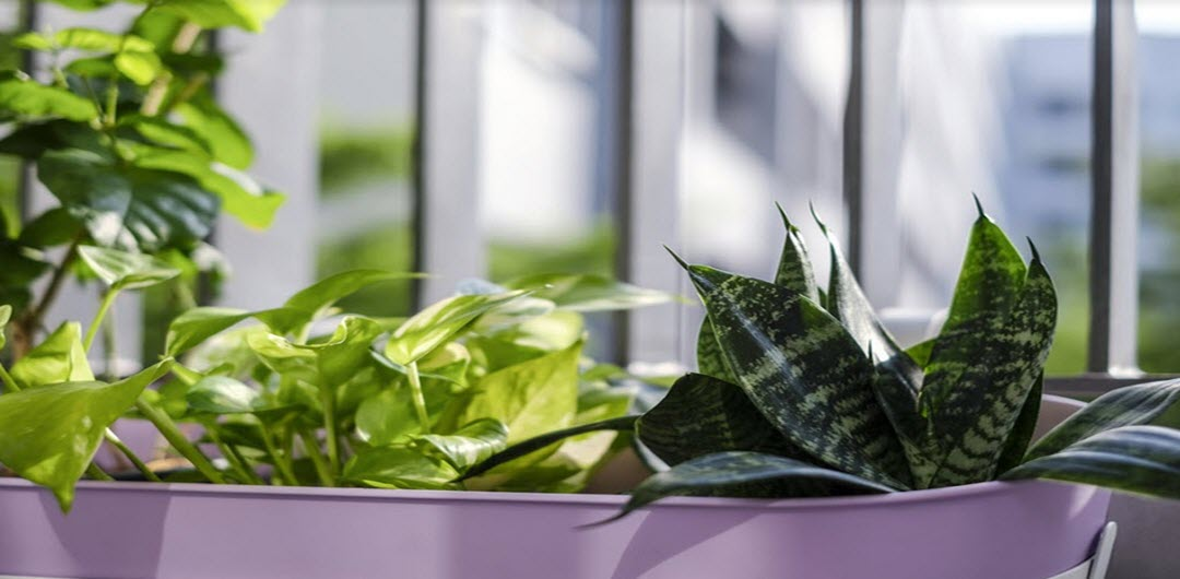 Sick Building Syndrome Pothos
