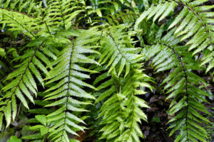 Corona Indoor Plant Design Trends Ferns