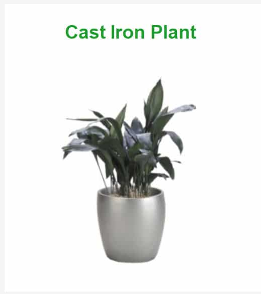 best indoor plants for cold office cast iron plant
