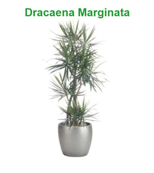 best indoor plants for cold office dracaena