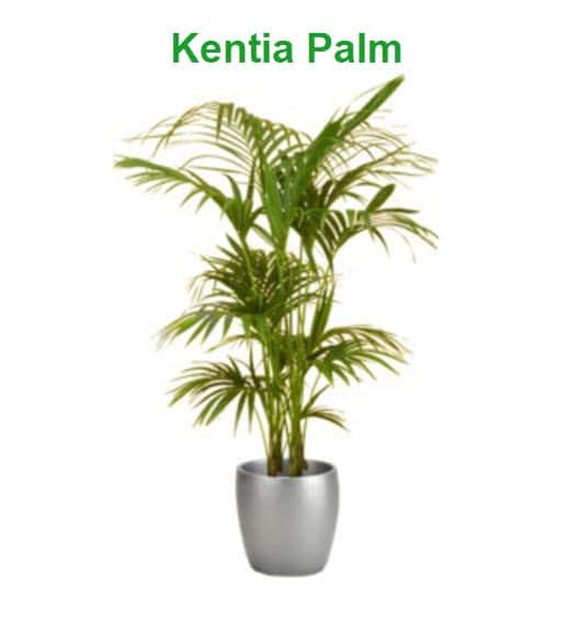 best indoor plants for cold office kentia palm