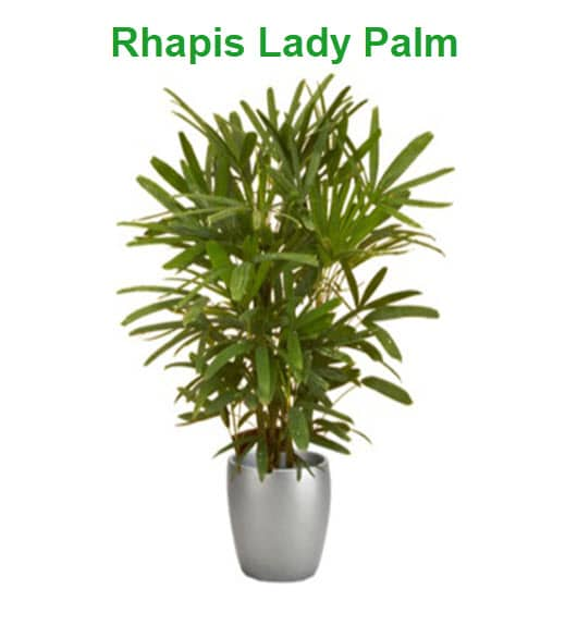 best indoor plants office lady palm