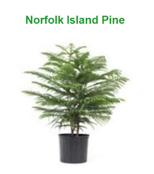 Best Indoor Plants For Cold Office Norfolk Island Pine