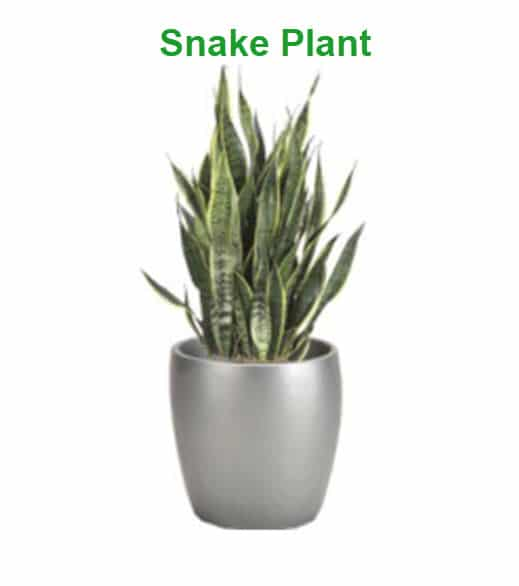 best indoor plants for cold office snake plant