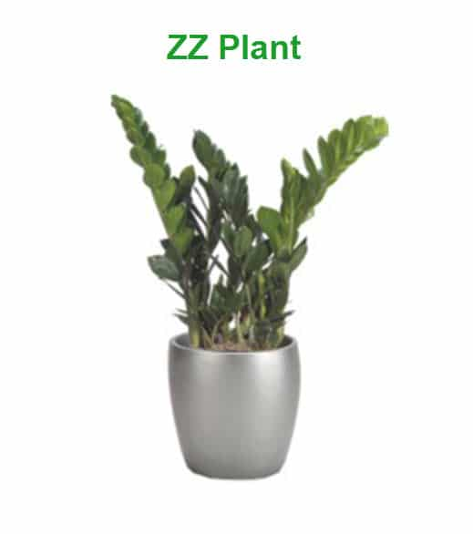 best indoor plants for cold office zz plant