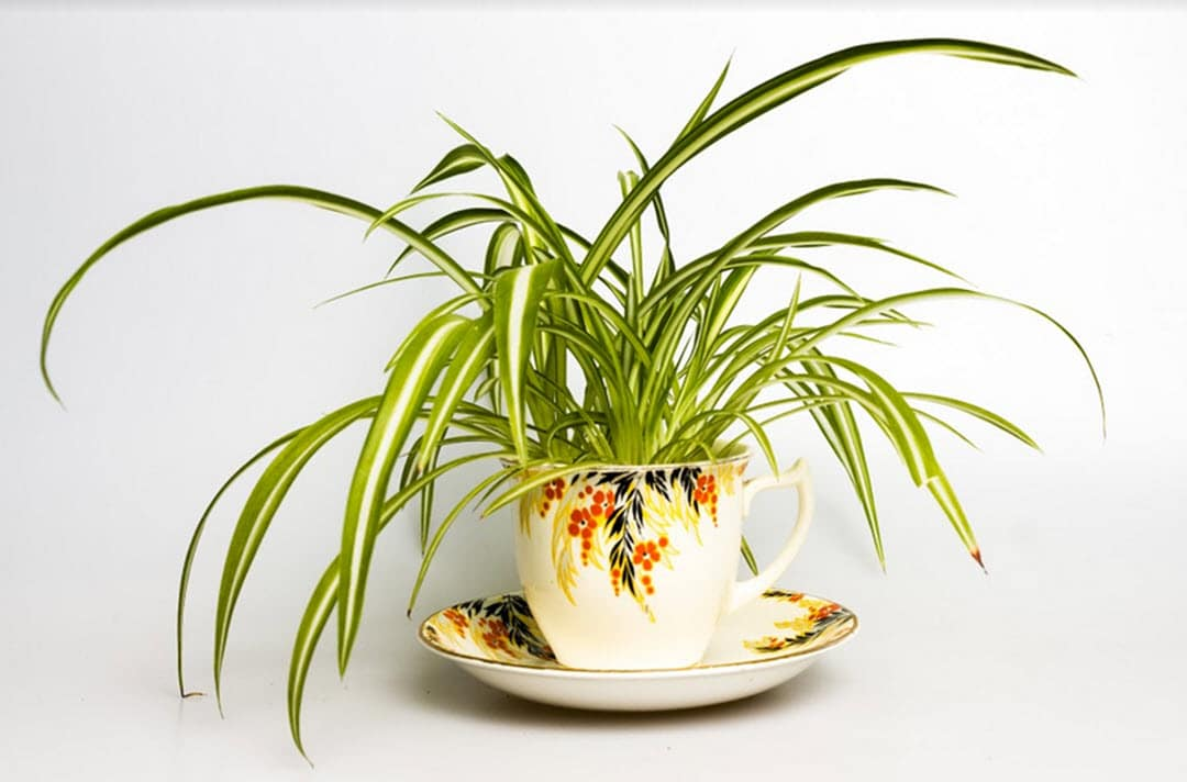 plants for low light rooms spider plant