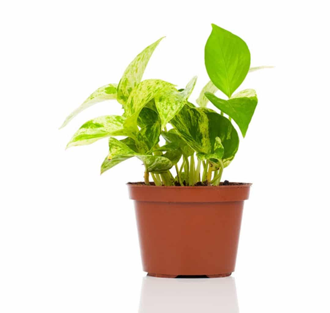 plants to boost productivity devils ivy