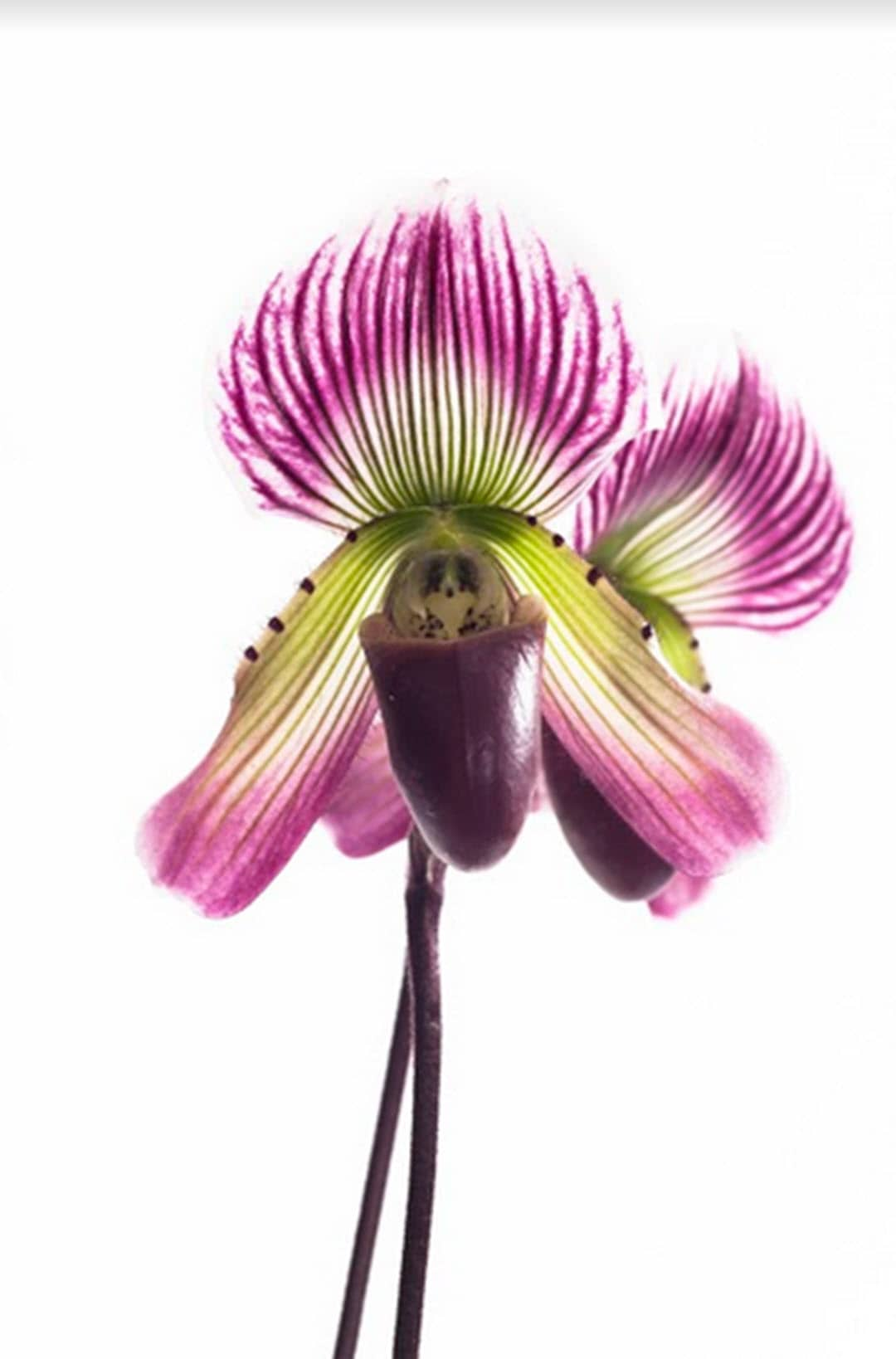 plants to boost productivity lady slipper orchid
