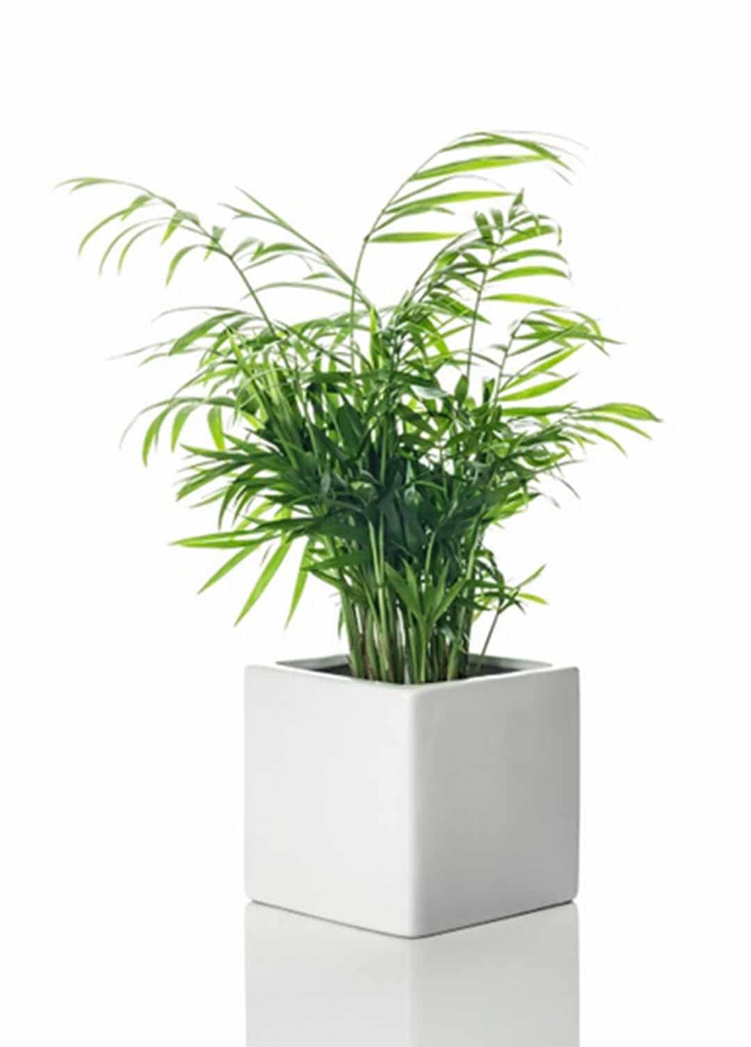 plants to boost productivity parlor palm