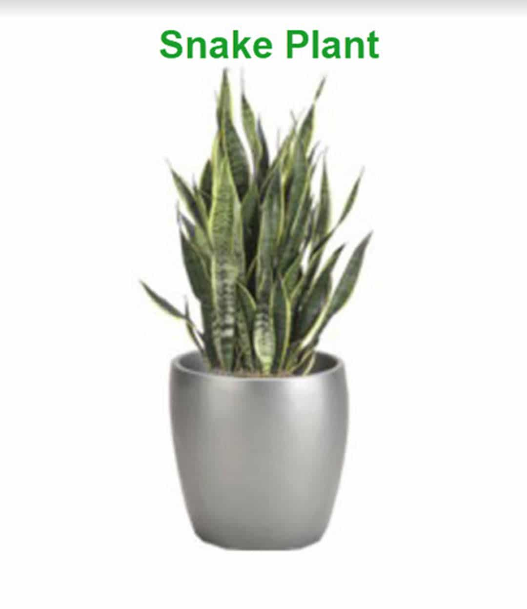 plants to- boost productivity snake plant