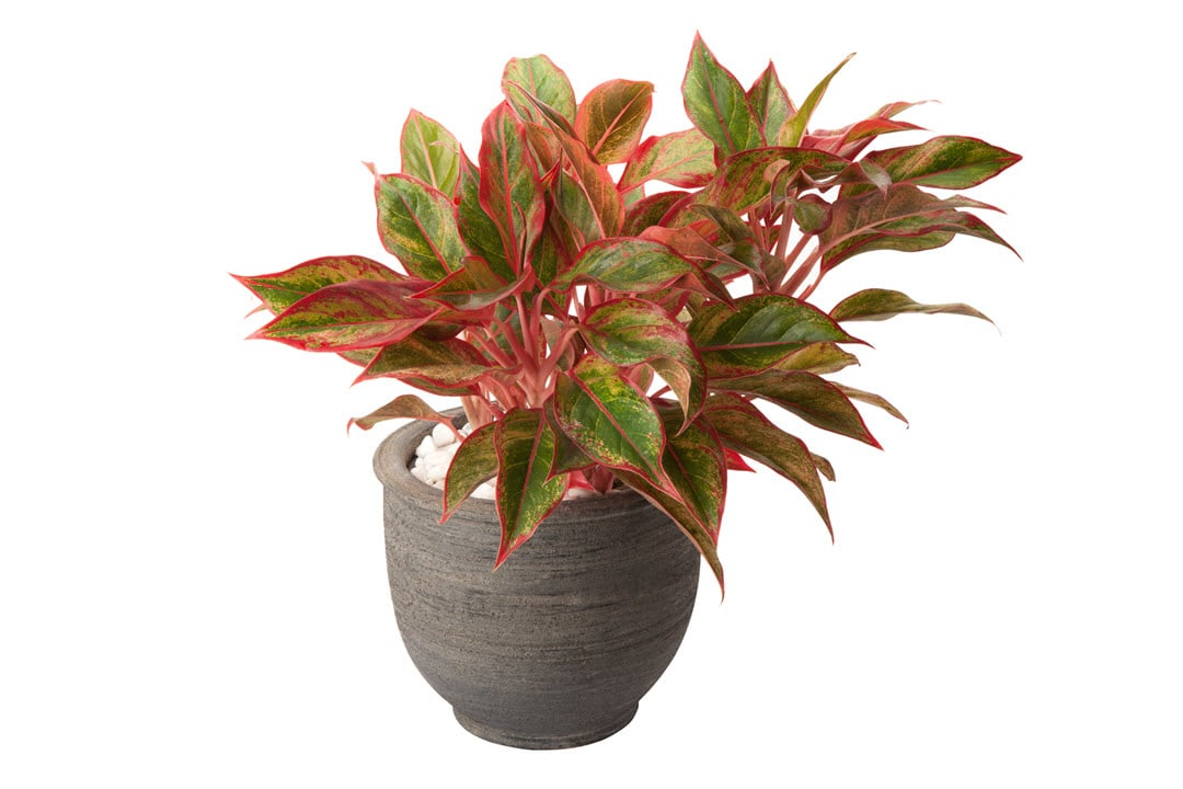 low water indoor plants chinese evergreen