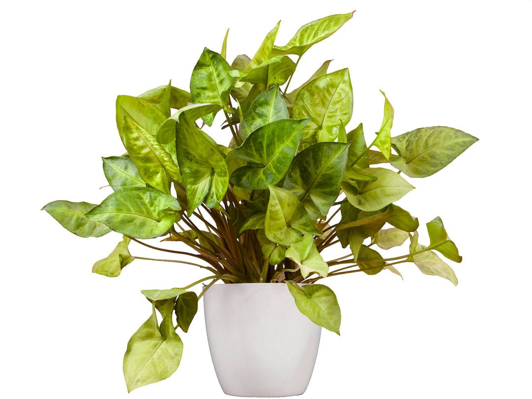 poisonous indoorplants arrowhead plant