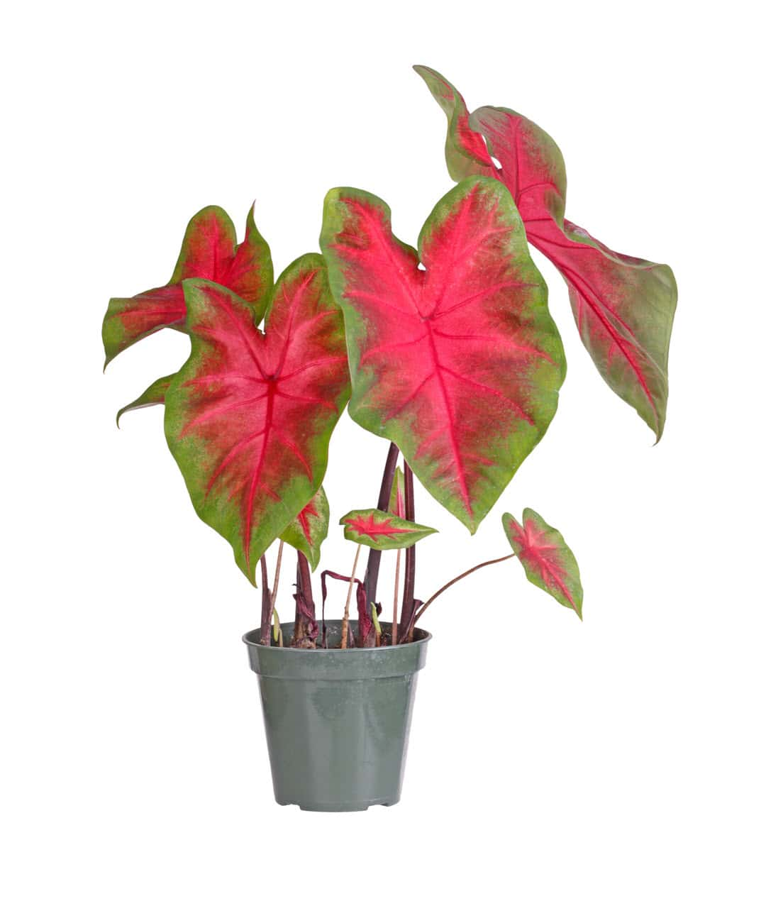 poisonous indoor plants caladium