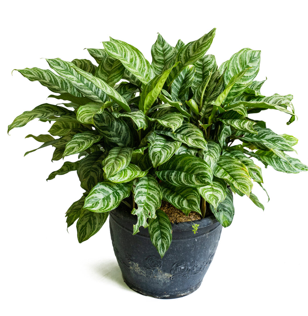 poisonous indoor plants dumb cane