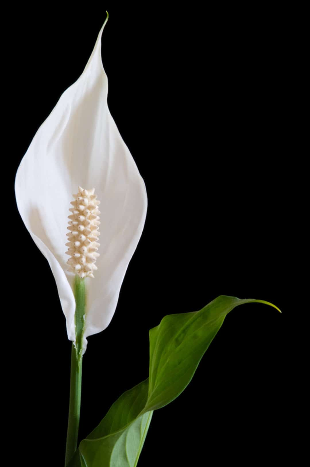 poisonous indoor plants peace lily