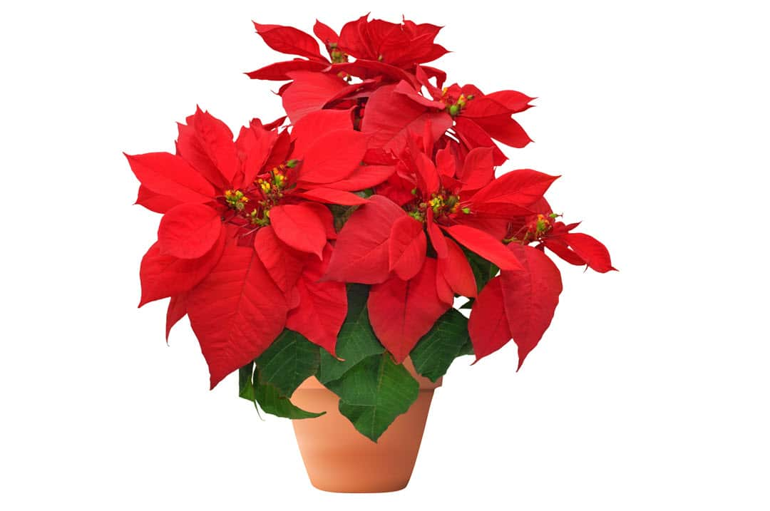 poisonous indoor plants poinsettia