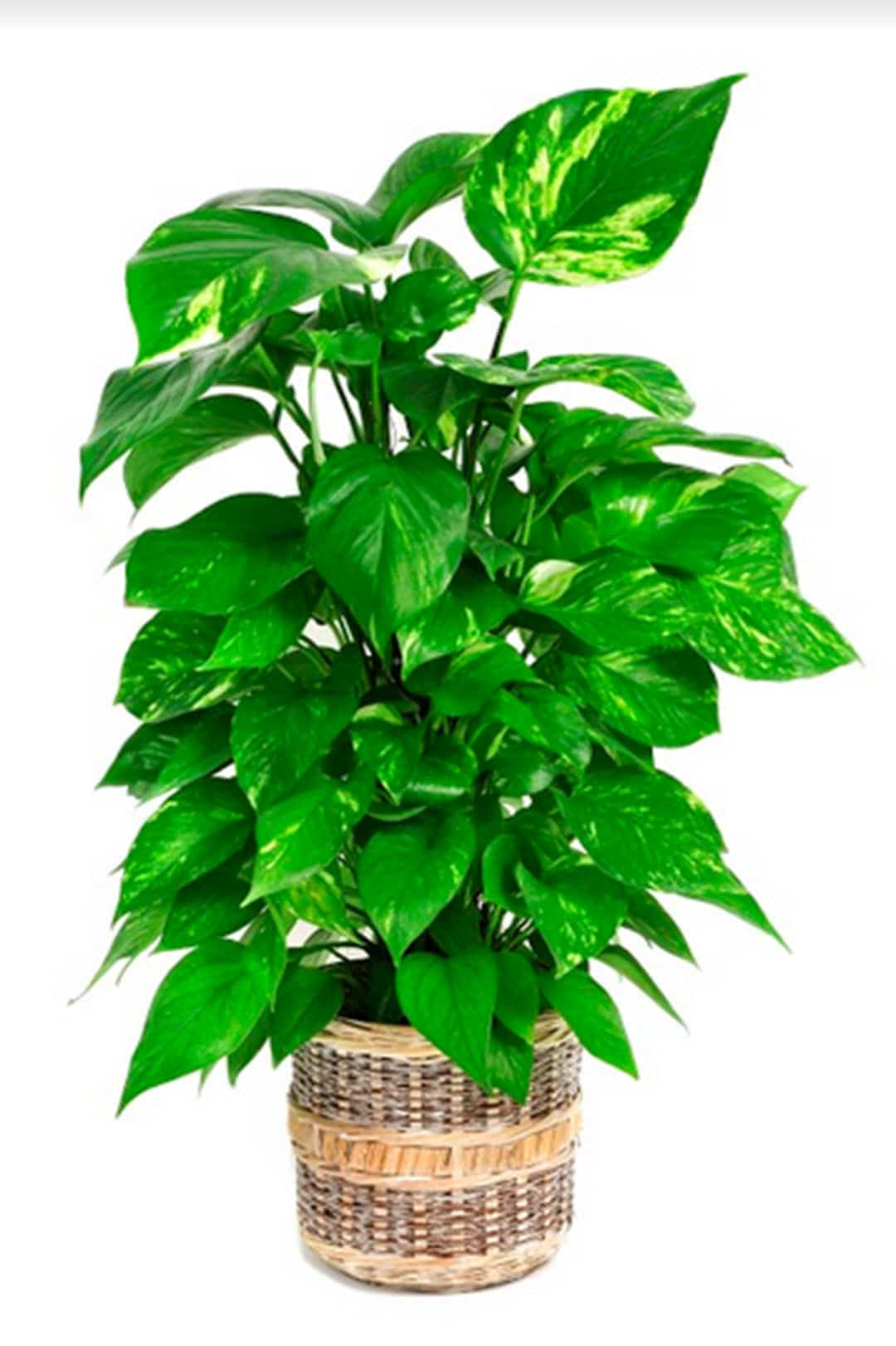 poisonous indoor plants pothos