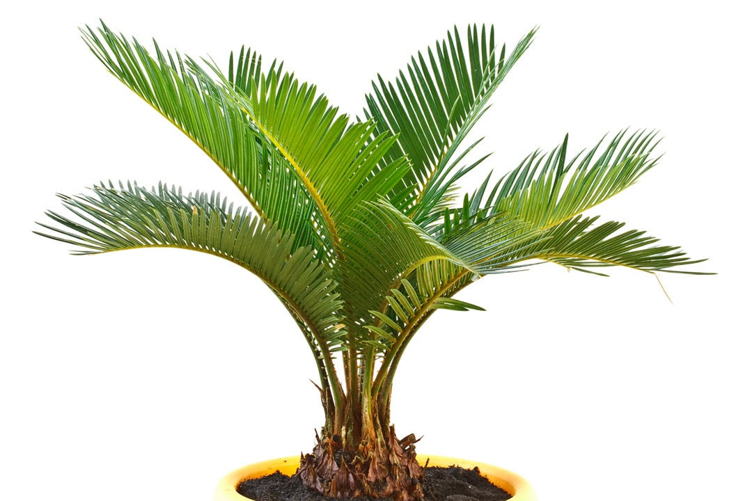 poisonous indoor plants sago palm