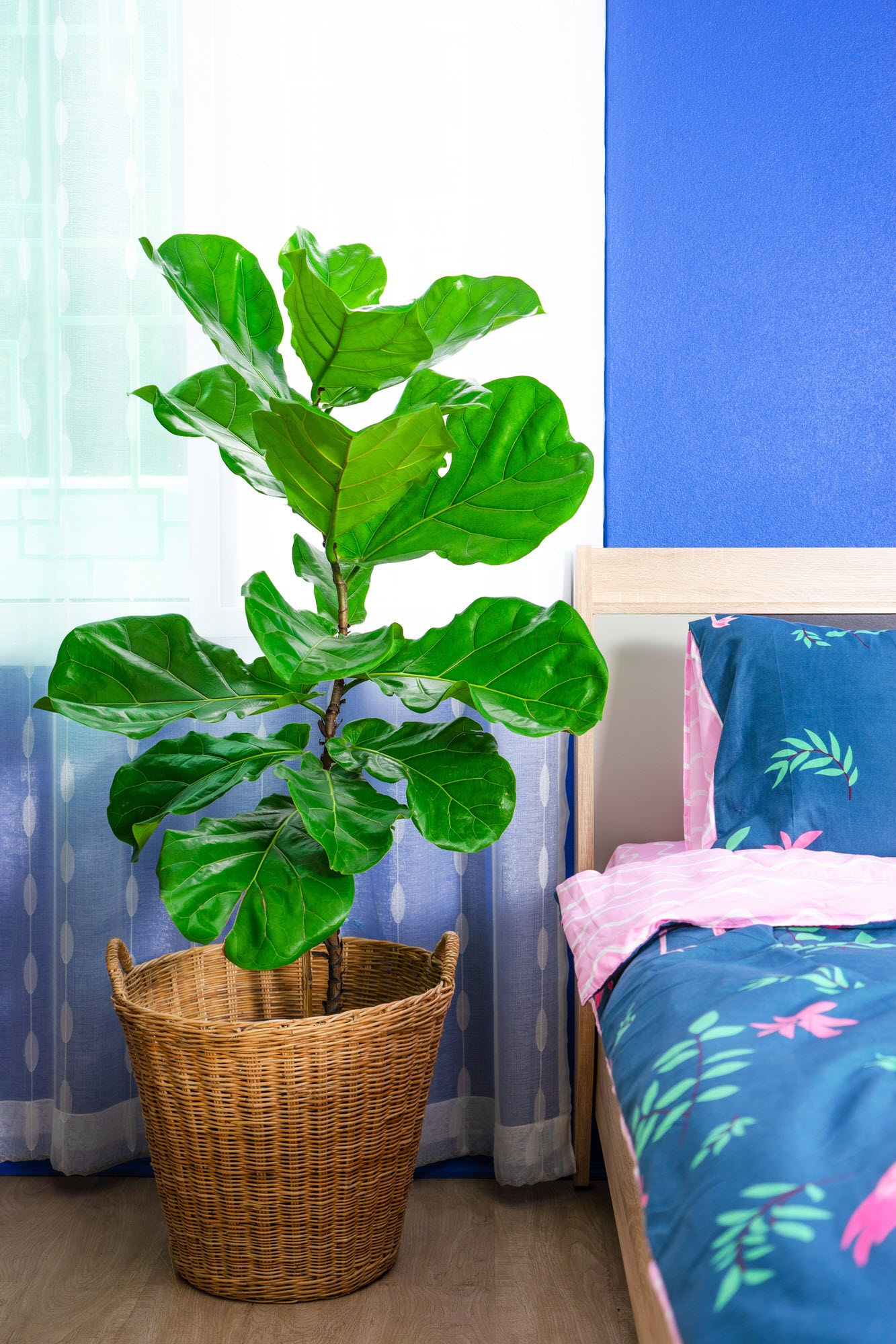 uncommon plants we love fiddle leaf fig